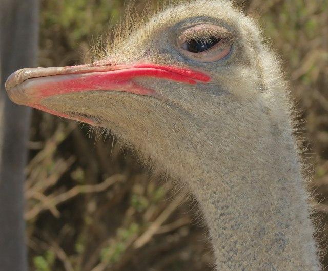 Grovers_testimonial_ostrich